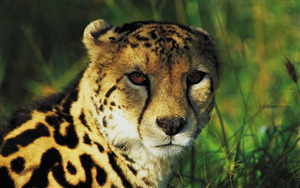 Download Image of Wild Cheetah